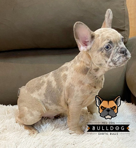 Bulldog francês Lilac Fawn macho