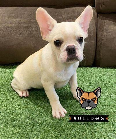 Bulldog francês macho creme - Foto 2