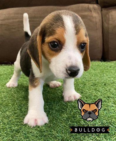Beagle Macho Tricolor - Foto 3