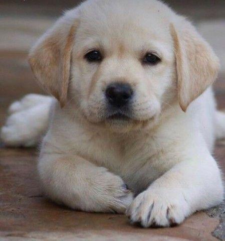 Labrador filhote macho e fêmea com pedigree e microchip  - Foto 5