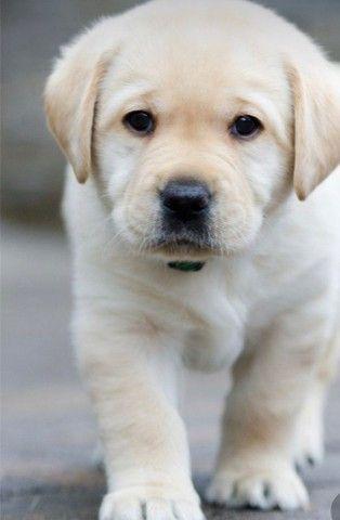 Labrador filhote macho e fêmea com pedigree e microchip  - Foto 4