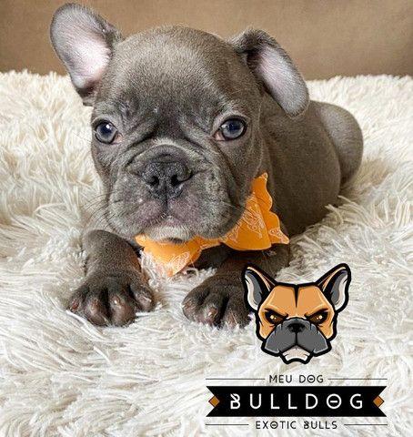 Bulldog francês fêmea Blue - Foto 3