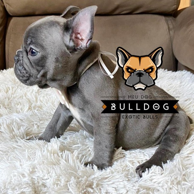 Bulldog francês fêmea Blue sólida - Foto 2