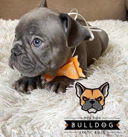 Bulldog francês fêmea Blue