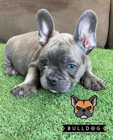 Bulldog francês Blue macho - Foto 2
