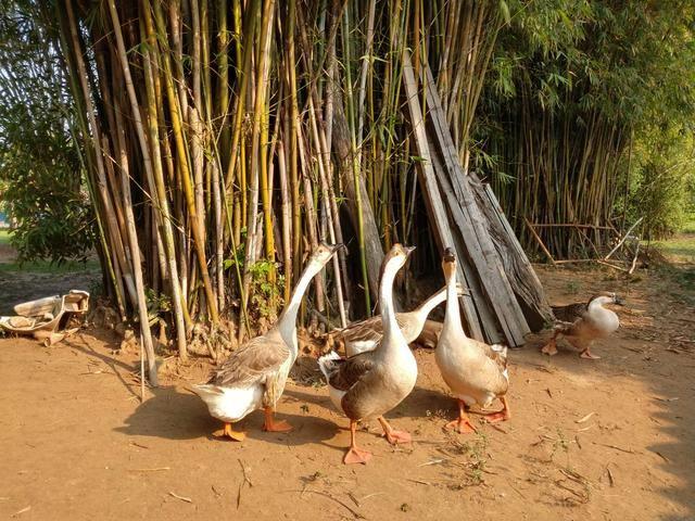 Filhote de ganso sinaleiro - Foto 4