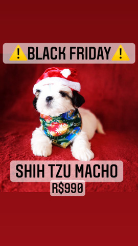 Black Friday!+belo Shih Tzu macho R$990 - Foto 4