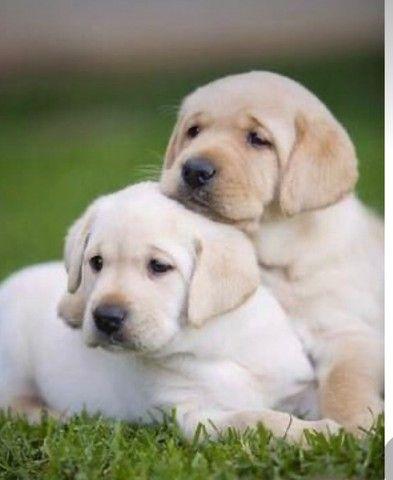 Labrador filhote macho e fêmea com pedigree e microchip  - Foto 6
