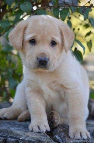 Labrador filhote macho e fêmea com pedigree e microchip  - Foto 3