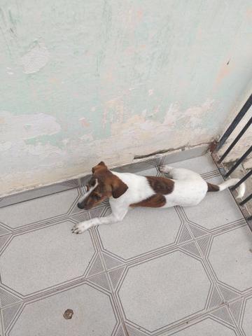 Filhote de cachorro raça pinscher - Foto 4