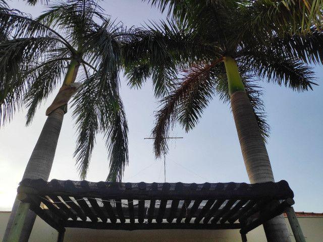 Palmeira Real - doação! - Foto 4