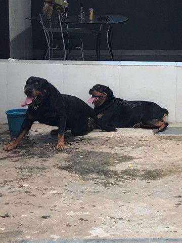 Filhotes de rottweiler  - Foto 2