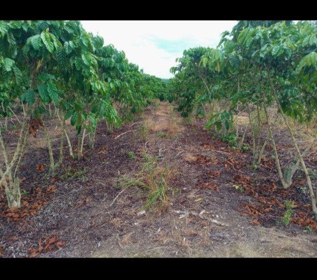 Plantação de Café - Foto 3