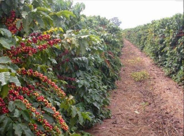 Plantação de Café - Foto 2