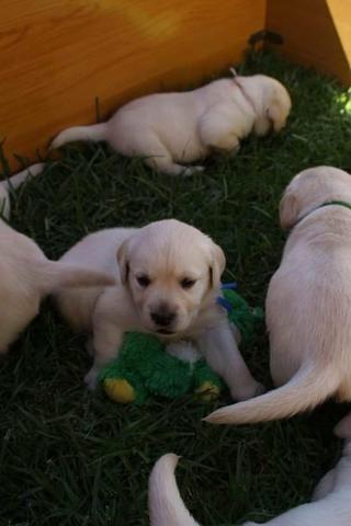 Filhotes TOP's de Labrador Retriever Champanhe! - Foto 5