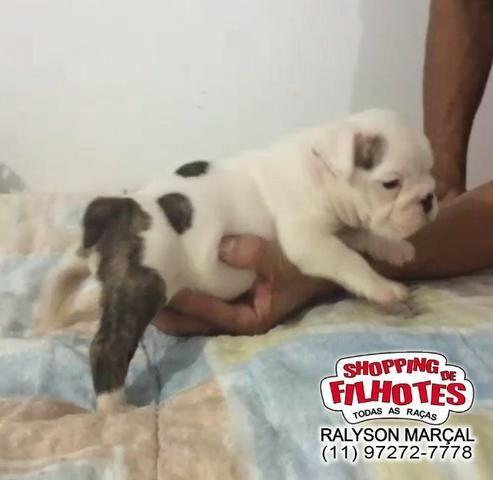 Bulldog Inglês machos e fêmeas, todas cores, para maiores informações what's - Foto 2
