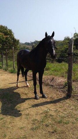 Cavalo Mangalarga Marchador com Árabe - Foto 2