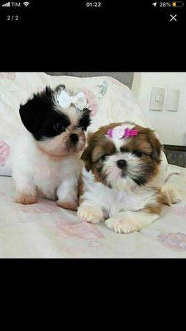 Shih Tzu lindos filhotes