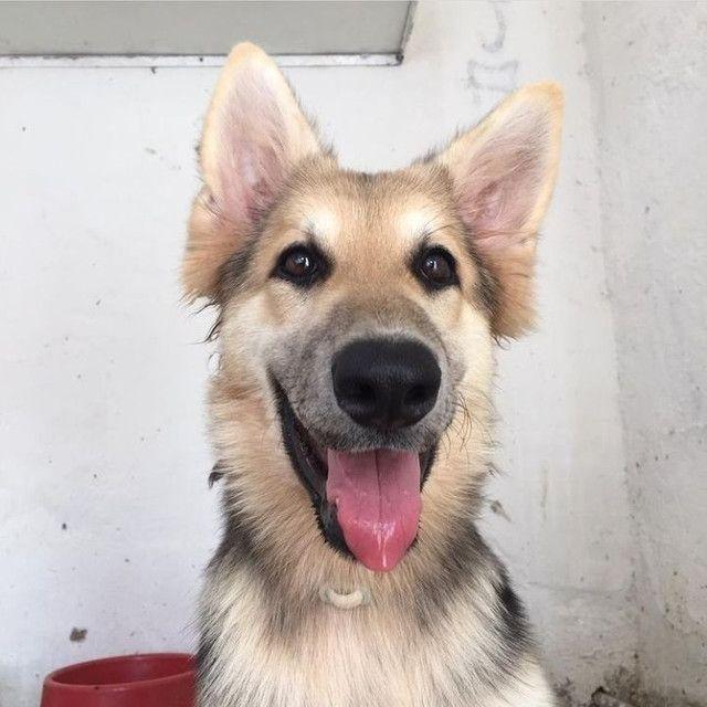 Cão-lobo-checoslovaco