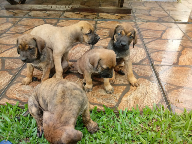 Filhotes de fila - Foto 2