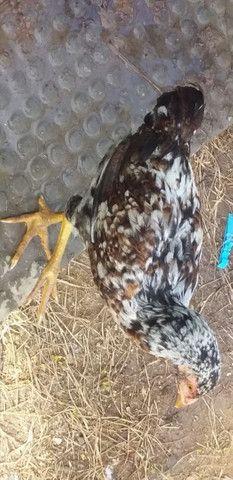 Vendo 12 frangas um galo 2 frango  - Foto 6