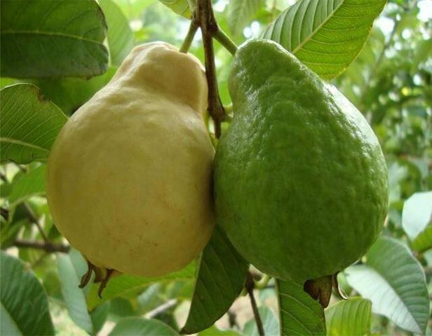 Varias mudas frutiferas - Foto 2