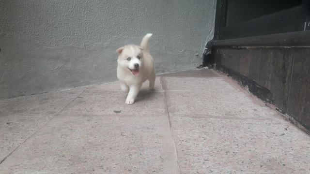 Husky filhote com pedigree - Foto 3