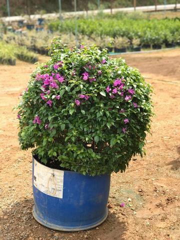 Ornamental ,frutiferas e reflorestamento - Foto 2