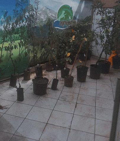 Mudas de Arvores frutiferas Figo Guabiroba jabuticaba uvaia mirtilo maça e muito mais