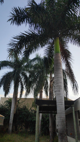 Palmeira Real - doação!