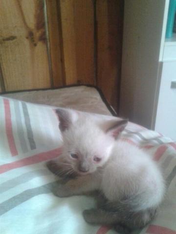 Vendo um gatinho siamês dois meses ja comendo ração seca