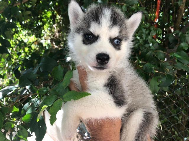 Lindos bebês de husky siberiano te esperando