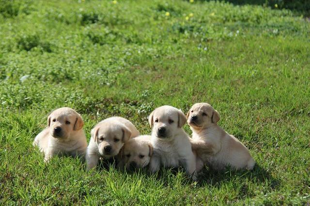 Filhotes TOP's de Labrador Retriever Champanhe! - Foto 6