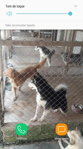 Husky filhote com pedigree - Foto 4