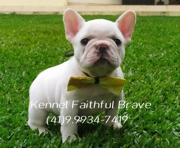 Bulldog francês/ Para quem busca qualidade e procedência na Criação!