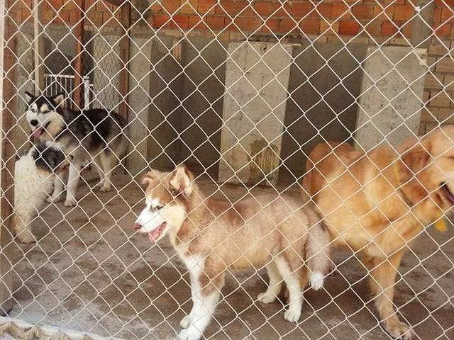 Husky filhote com pedigree - Foto 6