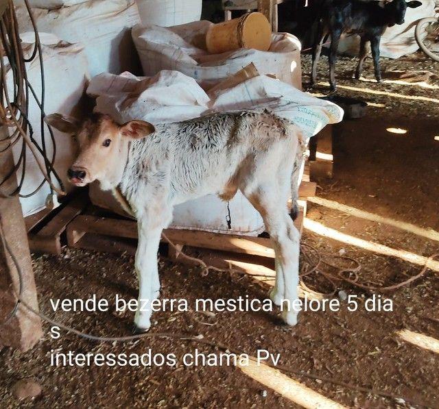6 Bezerros mesticos R$4.500 - Foto 4