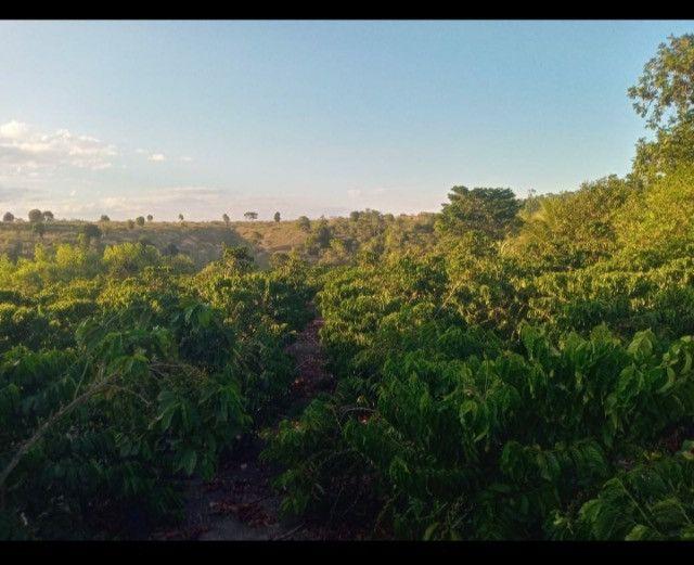 Plantação de Café - Foto 4