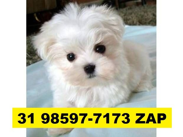 Canil em BH Filhotes Cães Selecionados Maltês Yorkshire Shihtzu Spitz Alemão Lhasa - Foto 2