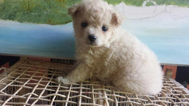 Filhotes Poodle micro