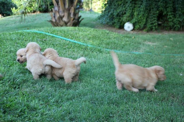 Filhotes TOP's de Golden Retriever com Pedigree! - Foto 6