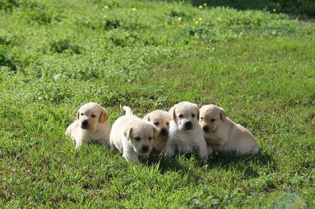 Filhotes TOP's de Labrador Retriever Champanhe! - Foto 3