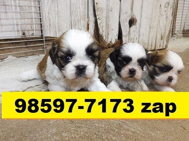 Canil Filhotes Premium Cães BH Shihtzu Poodle Basset Lhasa Yorkshire Maltês Pug