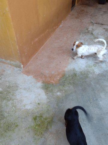 Vende _se cachorrinho mancho Basset 9 mês * - Foto 3