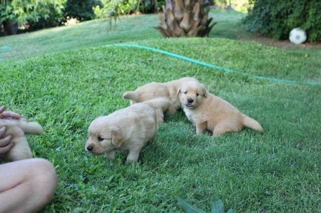 Filhotes TOP's de Golden Retriever com Pedigree! - Foto 4