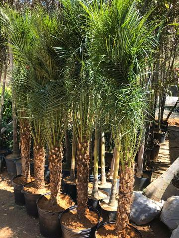 Ornamental ,frutiferas e reflorestamento - Foto 6