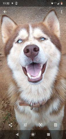 Pittt Bull Blu hiller dálmata pastor alemão husky siberiano