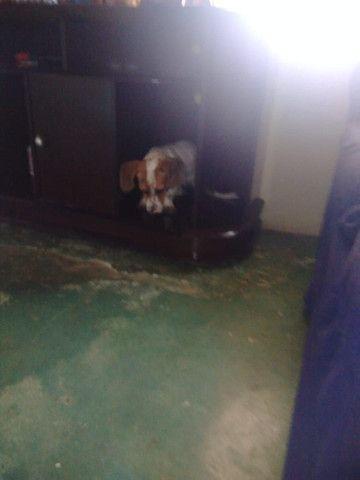 Vende _se cachorrinho mancho Basset 9 mês * - Foto 2