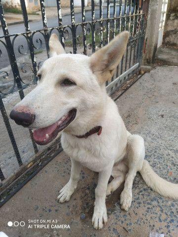 Lindo cachorro macho,6 meses pastor suíço - Foto 5