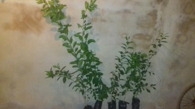 Varias mudas frutiferas - Foto 5